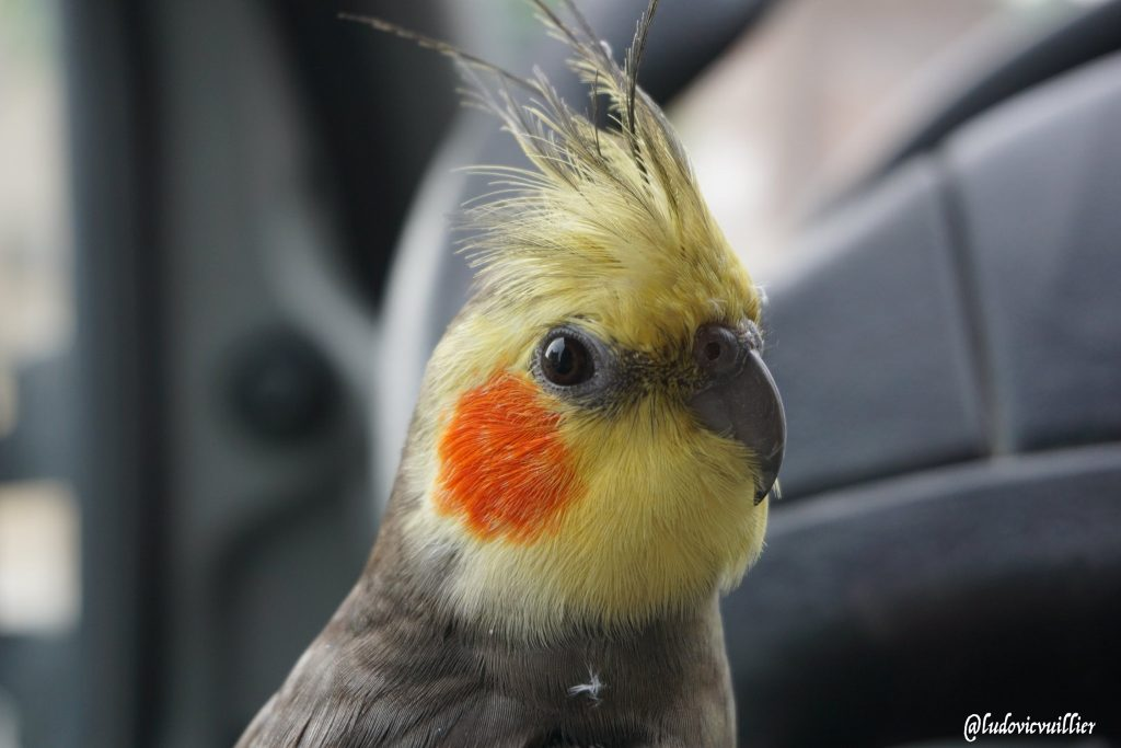 Lola the cockatiel - Vuillier